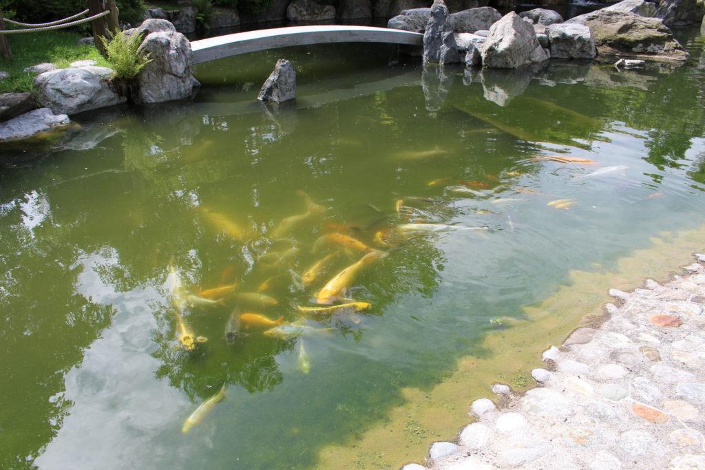 Koi Teich im Japanischer Garten
